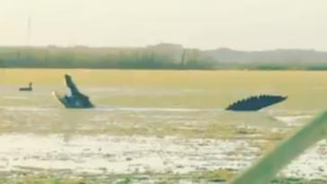 Massive Florida alligator eating ducks