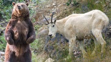 Mountain Goat kills grizzly bear