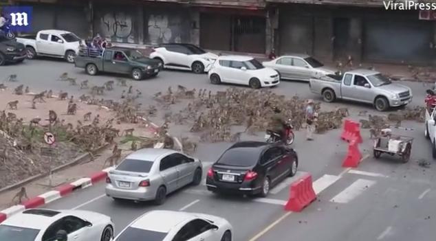 Thailand street monkeys fight video