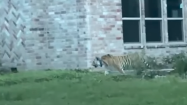 Tiger on the loose Houston video