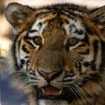Profile picture of TigerMan